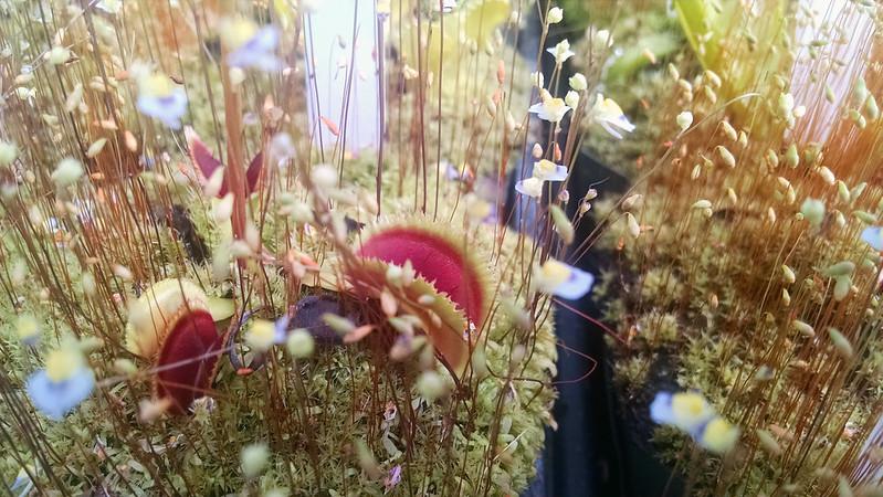 Dionaea 'Sunrise'