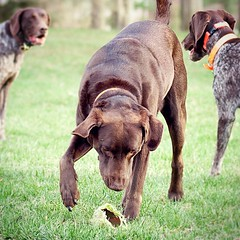 After several hours the pointers lost interest and Hershey stepped in to see what all the fuss was about. :tennis:  #hersheygood #chocolatelab #threedogweekend
