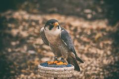 Сокол Сапсан | peregrine falcon