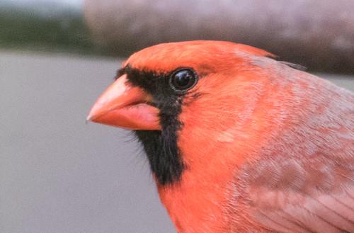 Cardinal: male