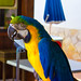 Ibiza - Macaw, Parrot, Playa D'en Bossa, Ibiza