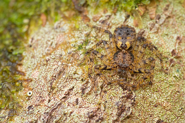 Wall crab spider (Selenopidae) - DSC_2990
