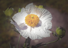From a CC2.0/by/ licensed photo by Sheila Sund - Matilija Poppy 1 -  2000x1414 vgnt