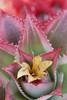 Ananas comosus x A. bracteatus 'Tricolor'