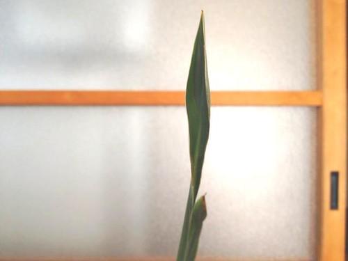 Strelitzia (6)