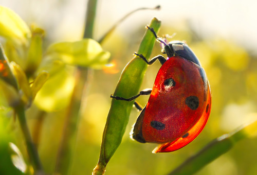 Translucen ladybug