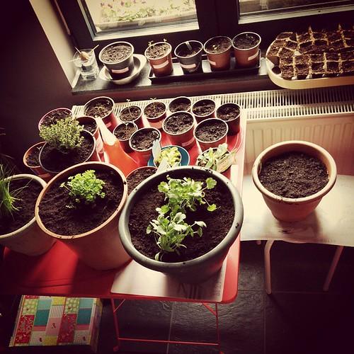 De #vensterbanktuin aangevuld met kruiden van denaveve: peterselie, bieslook, koriander en tijm. En de stinkerdjes komen piepen!  #gezelligdruk