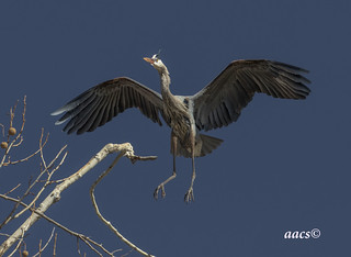blue heron flaps out