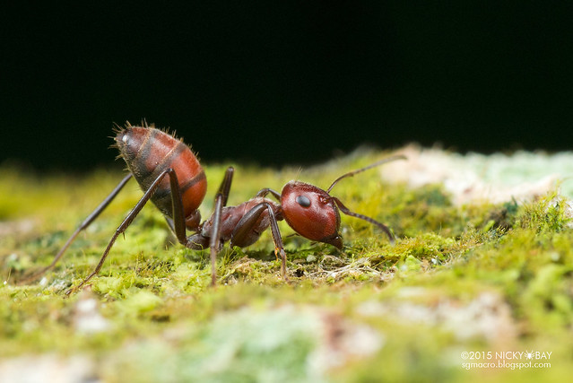 Ant (Formicidae) - DSC_4902