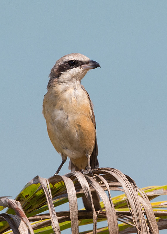 Brown Shrike   Thailand