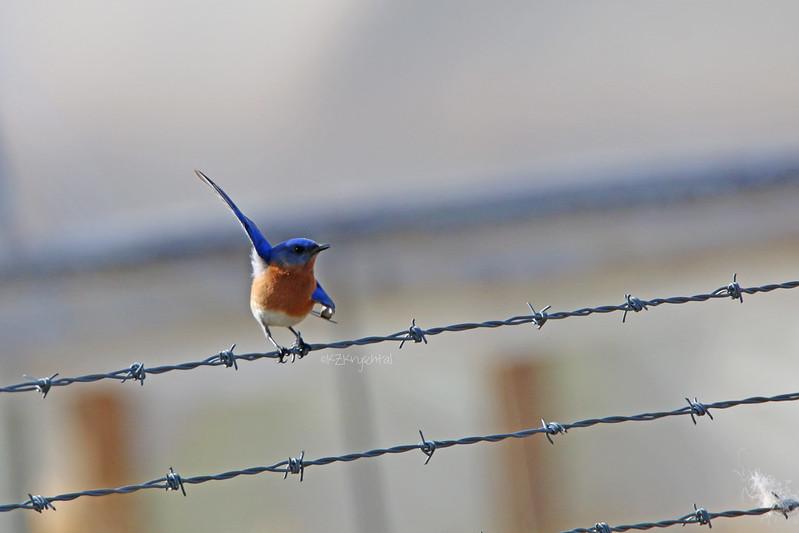 IMG_1559EasternBluebird
