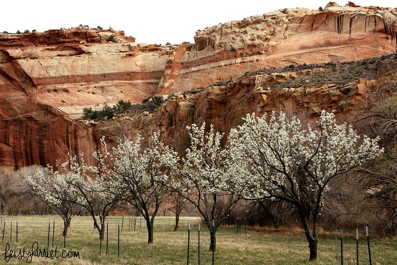 Capitol Reef Fruit Orchard_feistyharriet_March 2015 (2)