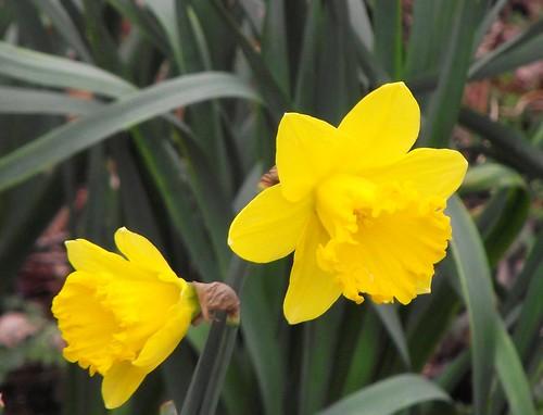 spring daffies