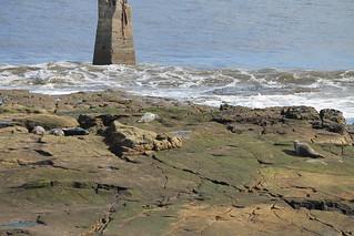 Seals on St Mary's Island