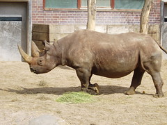 Black rhinoceros 01