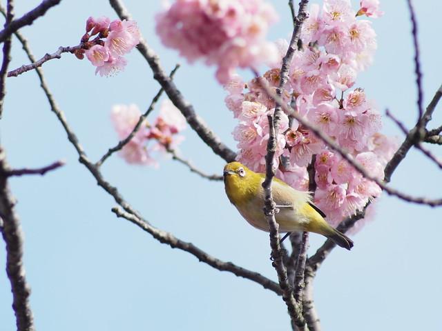 メジロと椿寒桜