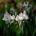 Spring white by pierluigi maria
