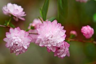 Prunus Glandulosa : ニワザクラ(庭桜)