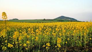 Yellow Fields around Starý Jičín  -  Czech Republic