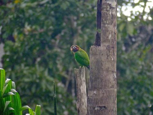 bird nature costarica wildlife parrot centralamerica pyriliahaematotis