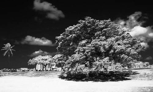 REFLECTIVE TREE...INFRARED, 705NM IN MONOCHROME