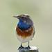 Blauwborst-Bluethroat (Luscinia svecica) by Bram Reinders(on-off)