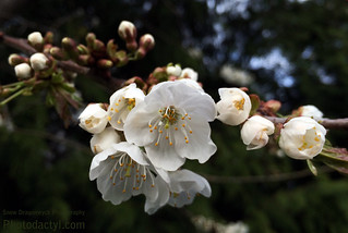 20150328-White Blossoms