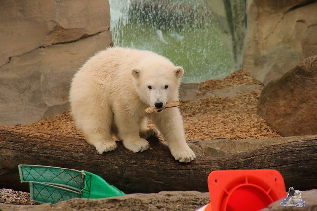 Eisbär Lili im Zoo am Meer Bremerhaven 14.05.2016 Teil 1 0122