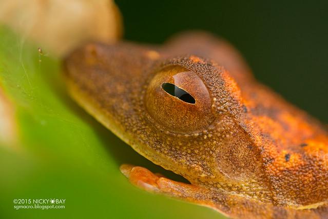 Harlequin flying frog (Rhacophorus pardalis) - DSC_2794