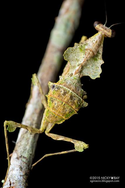 Dead leaf mantis (Deroplatys sp.) - DSC_3674