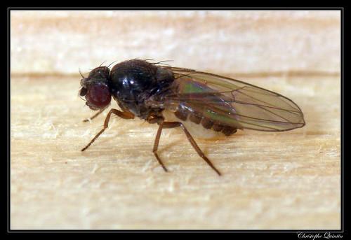 Drosophila obscura group ?