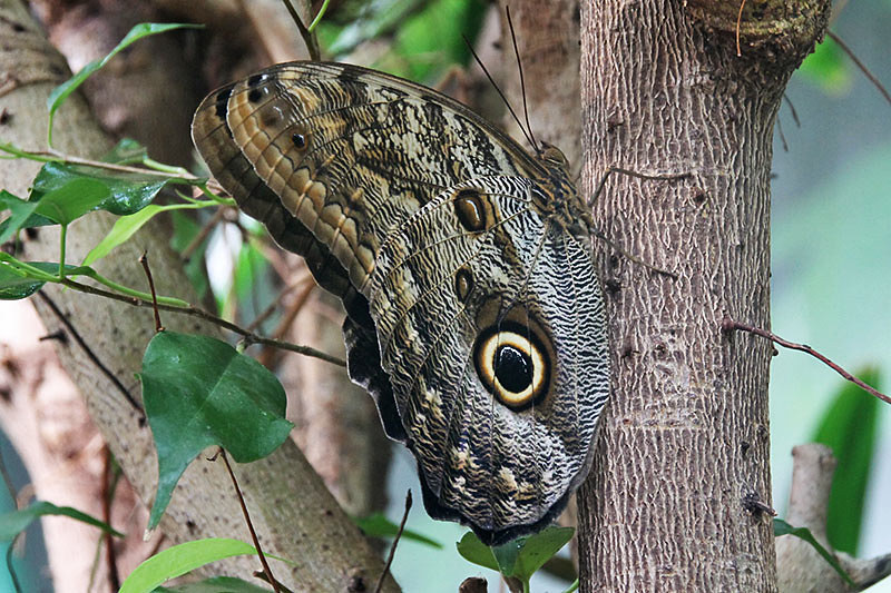 ... British · Giant Owl Butterfly, Victoria Butterfly Gardens, Brentwood  Bay, Vancouver Island, British Columbia ...
