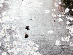 Hanami at Megurogawa River 2013