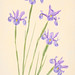 Blue Irises Textured by Harold Davis