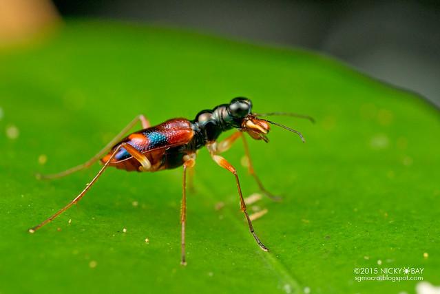 Tiger beetle (Cicindelinae) - DSC_5193