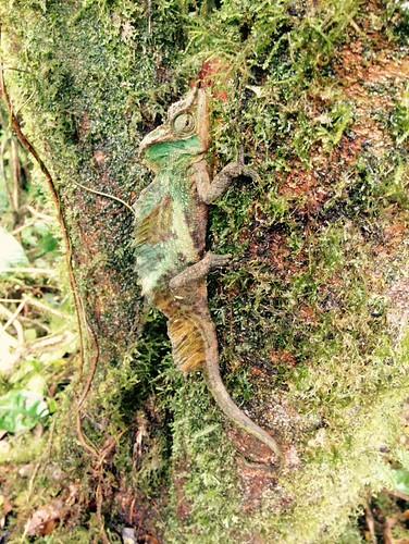 Trioceros sp. (Large Chameleon)