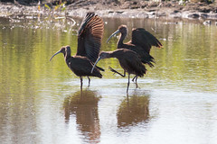 IMG_2014.jpg  White-faced Ibises, Struve Slough