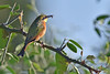 Little Bee-eater with insect