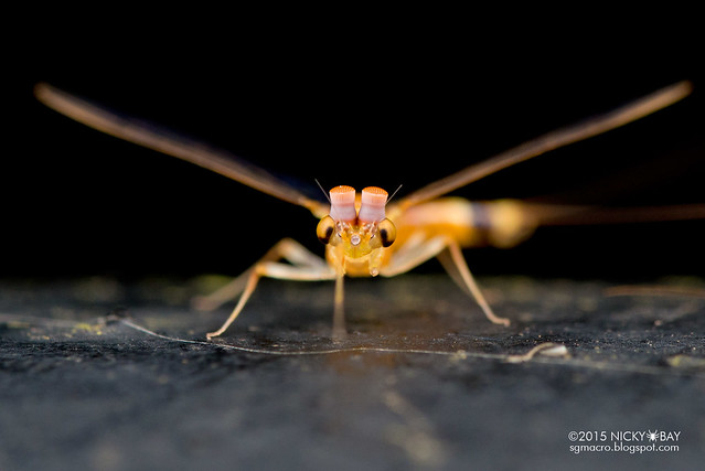 Mayfly (Ephemeroptera) - DSC_3890