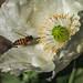 White Poppy by spicysquid1