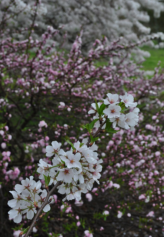 Prunus glandulosa 'Rosea Plena' and Prunus x yedoensis (2)