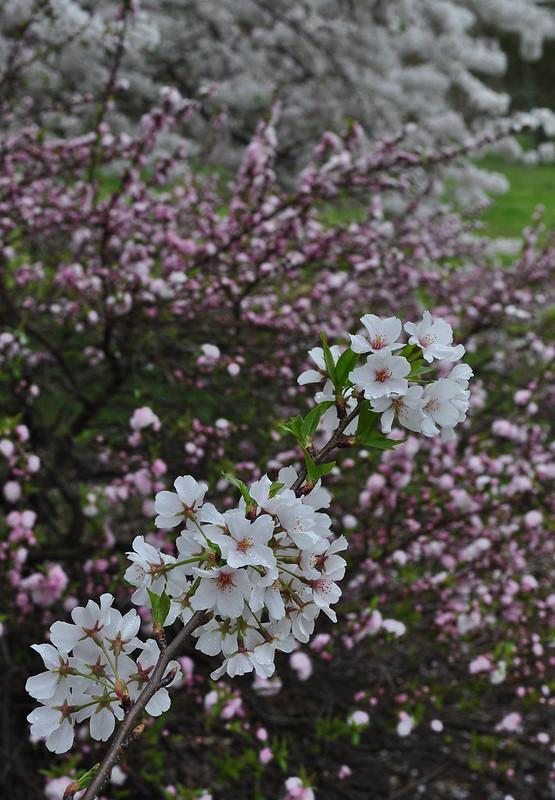Prunus glandulosa 'Rosea Plena' and Prunus x yedoensis (2)