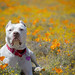Paloma in poppies by lauripiper