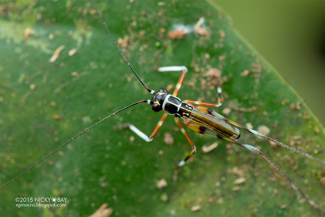 Cricket (Gryllidae) - DSC_5199