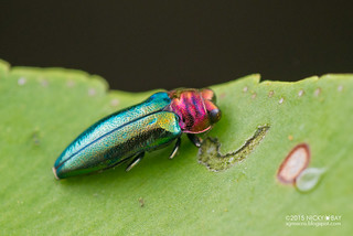 Jewel beetle (Endelus sp.) - DSC_5960