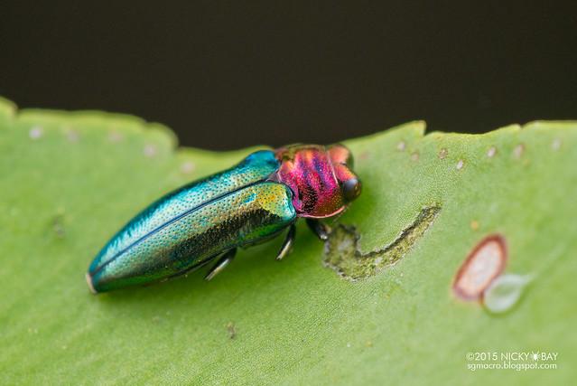 Jewel beetle (Endelus sp.) - DSC_5960