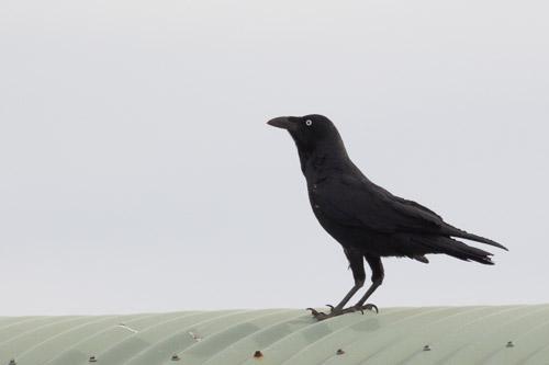 Little Raven ???