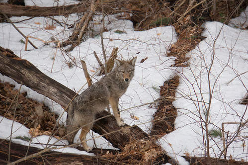 00233 Coyote