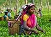 India-Assam-Tea estate
