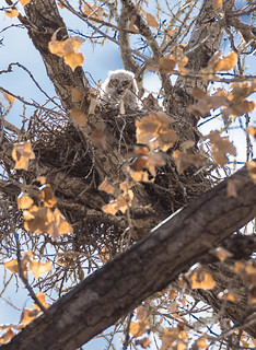 Albuquerque Great Horned Owl nest #2